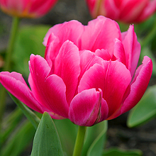 TULIPA QUEEN OF MARVEL