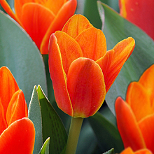 TULIPA LOVE SONG