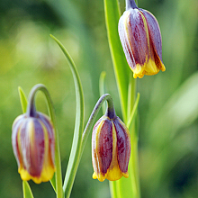 FRITILLARIA SPECIES UVA-VULPIS